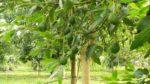 Avokado ağacı nasıl yetiştirilir? Bakımı nasıl yapılır?