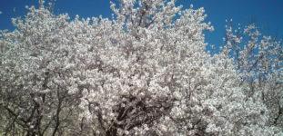 Badem Ağacı Nasıl Yetiştirilir? Bakımı Nasıl Yapılır?