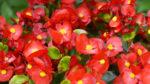 Begonya çiçeği nasıl yetiştirilir? Bakımı nasıl yapılır?