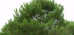 Çam Fıstığı Ağacı Nasıl Yetiştirilir? Bakımı Nasıl Yapılır?