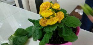 Çanta çiçeği nasıl yetiştirilir? Bakımı nasıl yapılır?