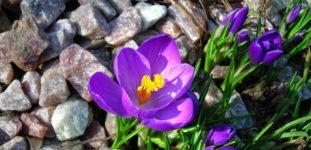 Çiğdem çiçeği nasıl yetiştirilir? Bakımı nasıl yapılır?