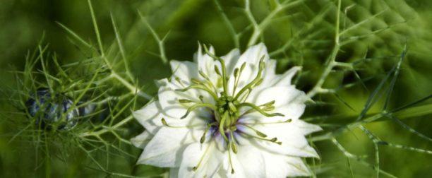 Çörek otu çiçeği nasıl yetiştirilir? Bakımı nasıl yapılır?