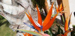 Cennet kuşu çiçeği nasıl yetiştirilir? Bakımı nasıl yapılır?