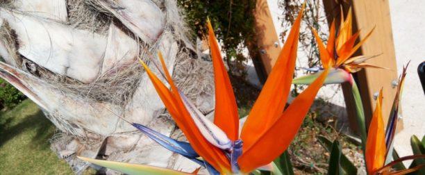 Starliçe (Cam Güzeli) Çiçeği Nasıl Yetiştirilir? Bakımı Nasıl Yapılır?