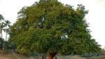 Demirhindi ağacı nasıl yetiştirilir? Bakımı nasıl yapılır?