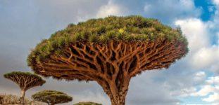 Ejderha kanı ağacı nasıl yetiştirilir? Bakımı nasıl yapılır?