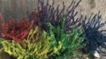 Funda Çiçeği Nasıl Yetiştirilir? Bakımı Nasıl Yapılır?