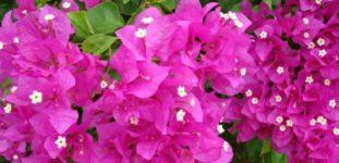 Gelin Duvağı Çiçeği Bakımı Nasıl Yapılır? Nasıl Yetiştirilir?