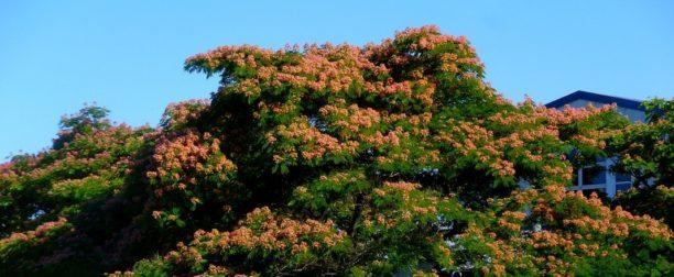 Gülibrişim (ipek) Ağacı Nasıl Yetiştirilir? Bakımı Nasıl Yapılır?