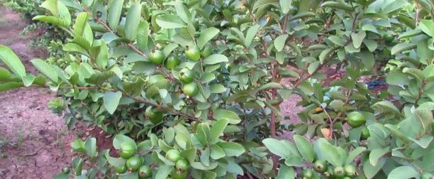 Guava ağacı nasıl yetiştirilir? Bakımı nasıl yapılır?