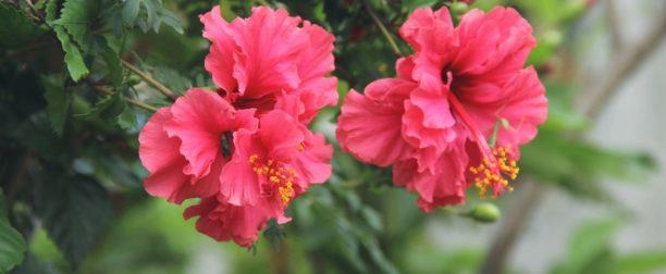 Hibiskus çiçeği nasıl yetiştirilir? Bakımı nasıl yapılır?