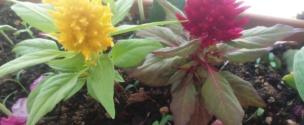 Horoz ibiği çiçeği bakımı nasıl yapılır? Nasıl yetiştirilir?