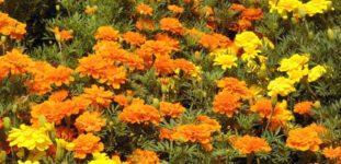Kadife Çiçeği Nasıl Yetiştirilir? Bakımı Nasıl Yapılır?
