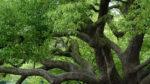 Kafur Ağacı Nasıl Yetiştirilir? Bakımı Nasıl Yapılır?