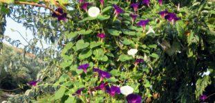 Kahkaha çiçeği nasıl yetiştirilir? Bakımı nasıl yapılır?