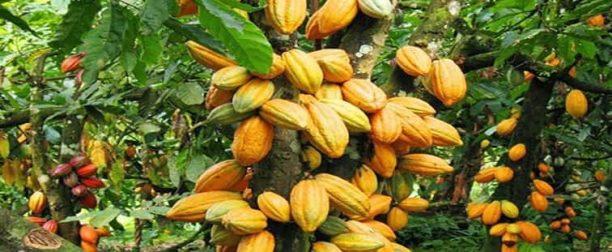 Kakao ağacı bakımı nasıl yapılır? Nasıl yetiştirilir?