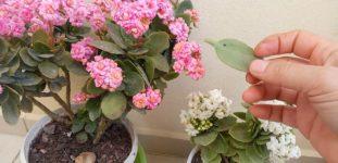 Kalanşo Çiçeği Nasıl Yetiştirilir? Bakımı Nasıl Yapılır?