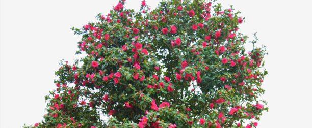 Kamelya Ağacı Nasıl Yetiştirilir? Bakımı Nasıl Yapılır?