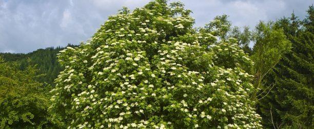 Kara Mürver Ağacı Nasıl Yetiştirilir? Bakımı Nasıl Yapılır?