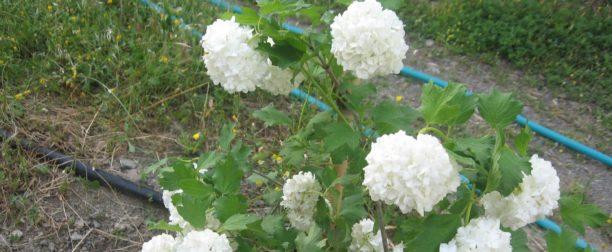 Kartopu çiçeği nasıl yetiştirilir? Bakımı nasıl yapılır?