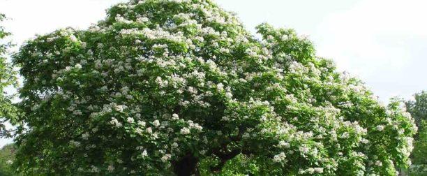 Kestane Ağacı Nasıl Yetiştirilir? Bakımı Nasıl Yapılır?