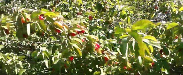 Kızılcık Ağacı Nasıl Yetiştirilir? Bakımı Yasıl Yapılır?