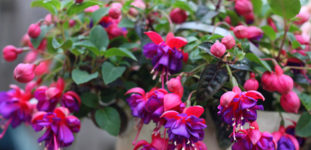 Küpe Çiçeği Nasıl Yetiştirilir? Bakımı Nasıl Yapılır?