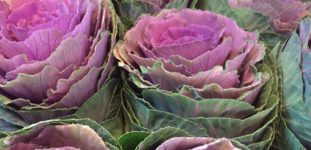 Lahana Çiçeği Nasıl Yetiştirilir? Bakımı Nasıl Yapılır?