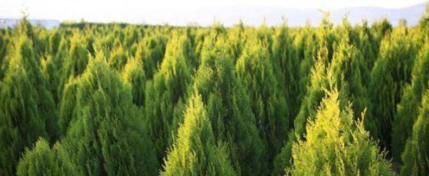 Mazı Ağacı Nasıl Yetiştirilir? Bakımı Nasıl Yapılır?