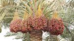 Medine Hurma Ağacı Nasıl Yetiştirilir? Bakımı Nasıl Yapılır?