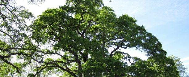 Meşe Palamudu Ağacı Nasıl Yetiştirilir? Bakımı Nasıl Yapılır?