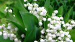 Müge çiçeği nasıl yetiştirilir? Bakımı nasıl yapılır?