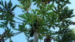 Papaya ağacı nasıl yetiştirilir? Bakımı nasıl yapılır?