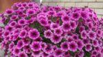 Petunya çiçeği nasıl yetiştirilir? Bakımı nasıl yapılır?