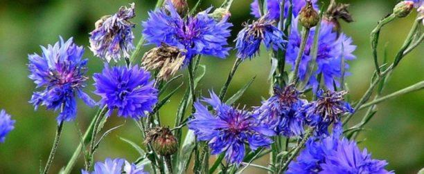 Peygamber çiçeği nasıl yetiştirilir? Bakımı nasıl yapılır?
