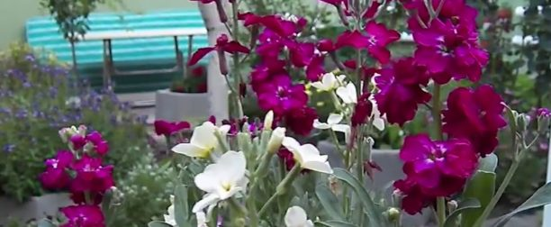 Şebboy Çiçeği Nasıl Yetiştirilir? Bakımı Nasıl Yapılır?