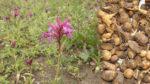 Salep Çiçeği Nasıl Yetiştirilir? Bakımı Nasıl Yapılır?
