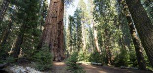 Sekoya Ağacı Nasıl Yetiştirilir? Bakımı Nasıl Yapılır?