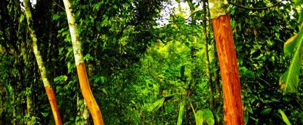 Tarçın Ağacı Nasıl Yetiştirilir? Bakımı Nasıl Yapılır?