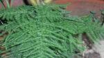 Tül çiçeği nasıl yetiştirilir? Bakımı nasıl yapılır?