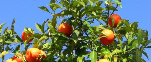 Turunç Ağacı Nasıl Yetiştirilir? Bakımı Nasıl Yapılır?