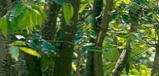 Ud (Öd) ağacı nasıl yetiştirilir? Bakımı nasıl yapılır?