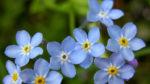 Unutmabeni (beni unutma) çiçeği nasıl yetiştirilir? Bakımı nasıl yapılır?
