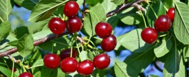 Vişne ağacı nasıl yetiştirilir? Bakımı nasıl yapılır?