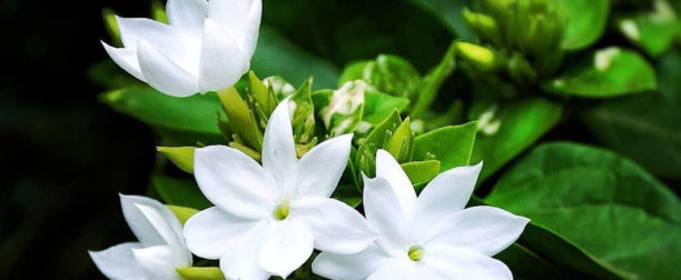Yasemin Çiçeği Nasıl Yetiştirilir? Bakımı Nasıl Yapılır?