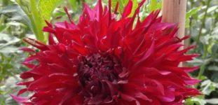 Yıldız Çiçeği Nasıl Yetiştirilir? Bakımı Nasıl Yapılır?