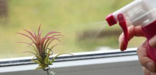 Hava Çiçeği Nasıl Yetiştirilir? Bakımı Nasıl Yapılır?