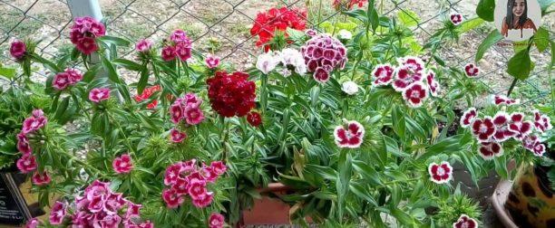 Hüsnüyusuf çiçeği nasıl yetiştirilir? Bakımı nasıl yapılır?