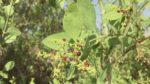 Misvak ağacı nasıl yetiştirilir? Bakımı nasıl yapılır?